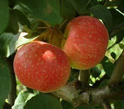 Яблоня Хелена